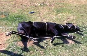 contecao-bovina