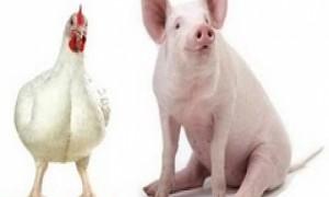 frango-e-porco