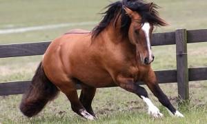 cavalo-crioulo