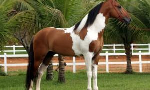 cavalos_campolina