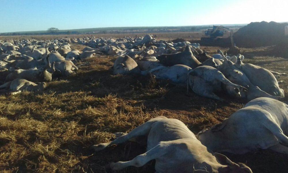 Cerca de 1,1 mil cabeças de gado morrem por suspeita de botulismo em fazenda de MS - RuralSoft